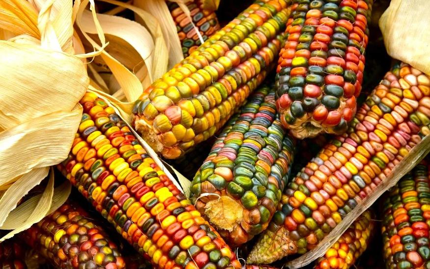 Цветная кукуруза. Видели ли вы вот такую цветную кукурузу?